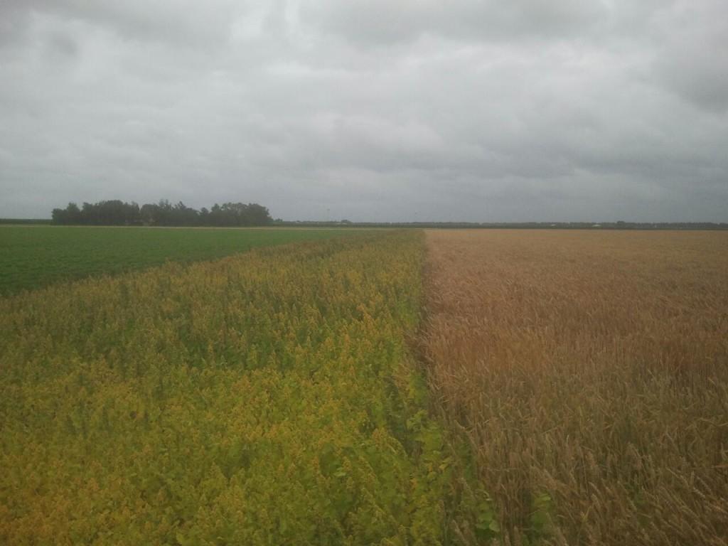 quinoa-nederland-naast-graan
