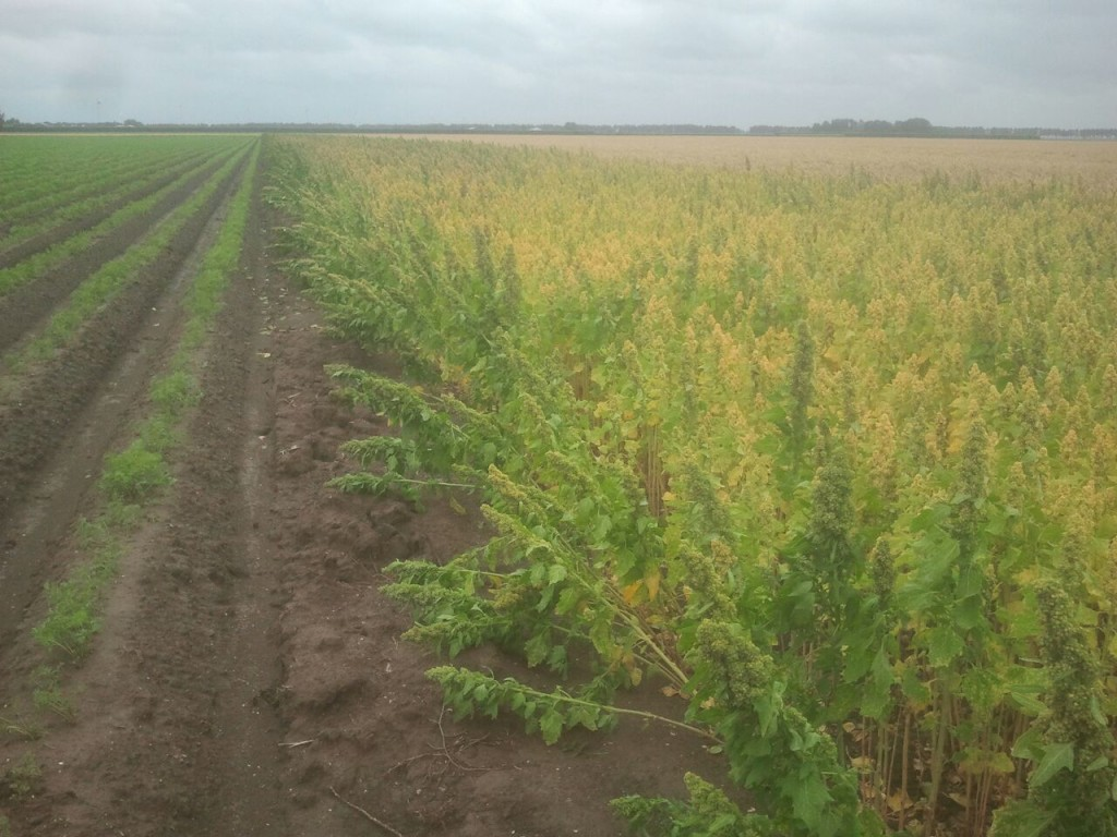 quinoa-perceel-nederland