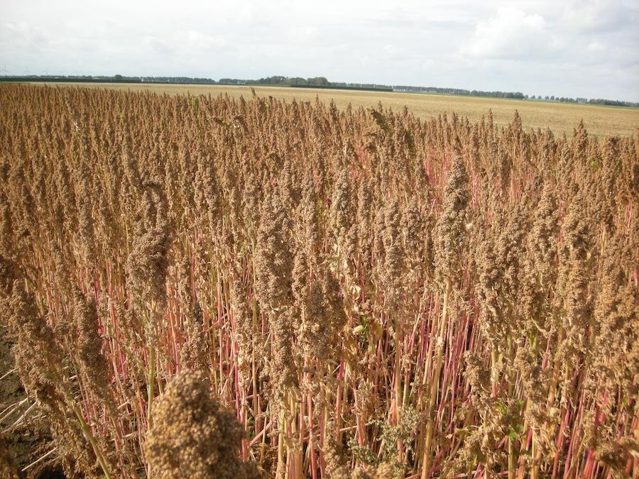 quinoa nederland