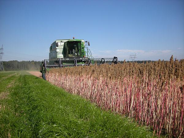 natuurlijke quinoa oogsten