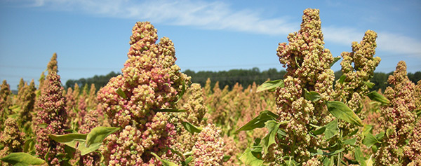 quinoa holland contact