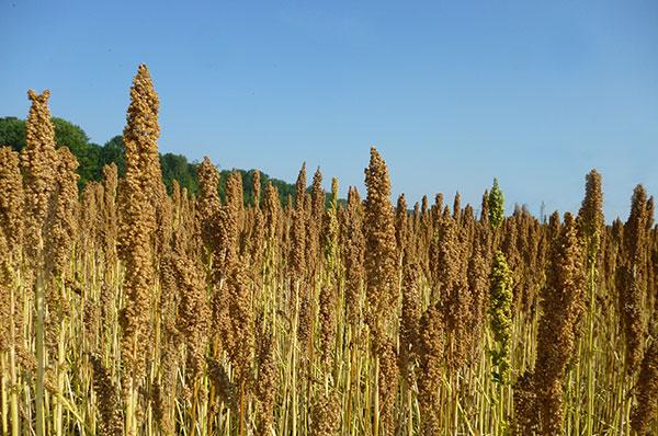 Onze lekkere, 100% natuurlijk quinoa was mooi rijp om te geoogst te worden.