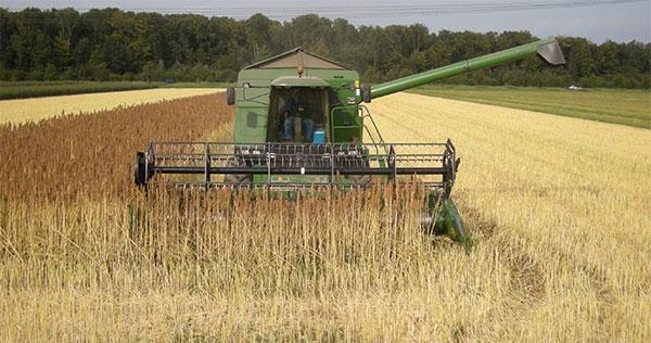 quinoa oogst quinoa kopen