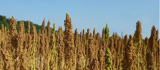 koolhydraatarm eten dieet quinoa